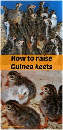 Homestead Blog Hop Feature - How to raise Guinea keets