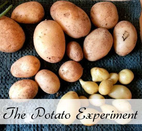 Homestead Blog Hop Feature from Oak Hill Homestead - The Potato Experiment
