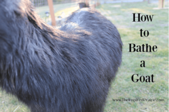 Homestead Blog Hop Feature - How to Bathe a Goat