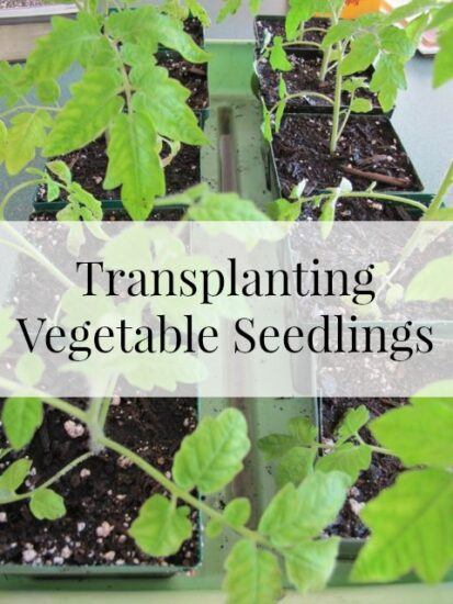 Homestead Blog Hop Feature - transplanting-seedlings