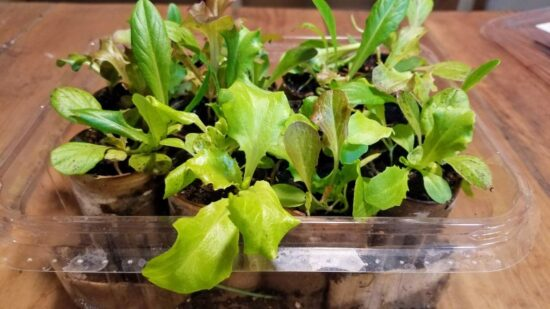 Homestead Blog Hop Feature - How to Make an Indoor Salad Garden