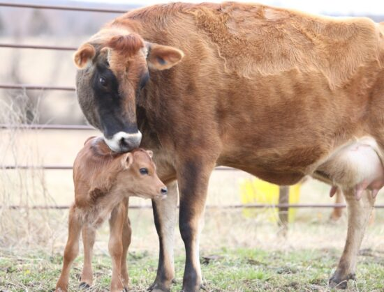 Homestead Blog Hop Feature - Caring for a Cow and a New Calf
