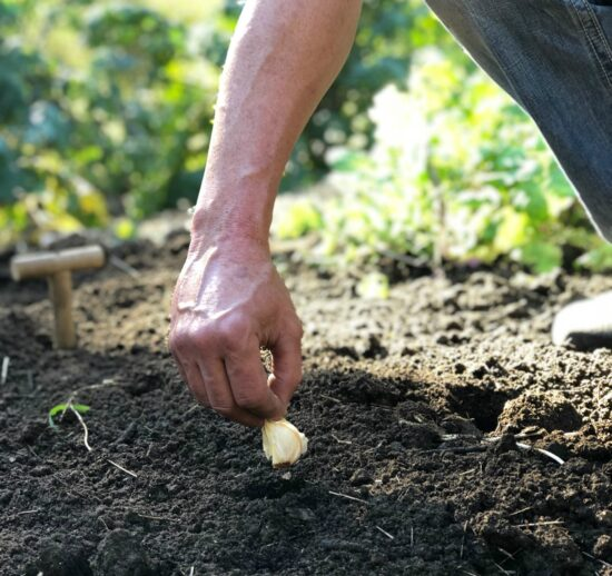 Homestead Blog Hop Feature - Amazing Garlic How to Plant for Next Years Crop