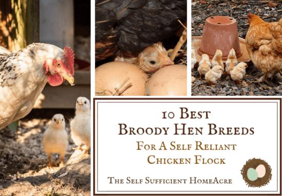 Homestead Blog Hop Feature - Best-Broody-Hen-Breeds-for-a-Self-Reliant-Chicken-Flock